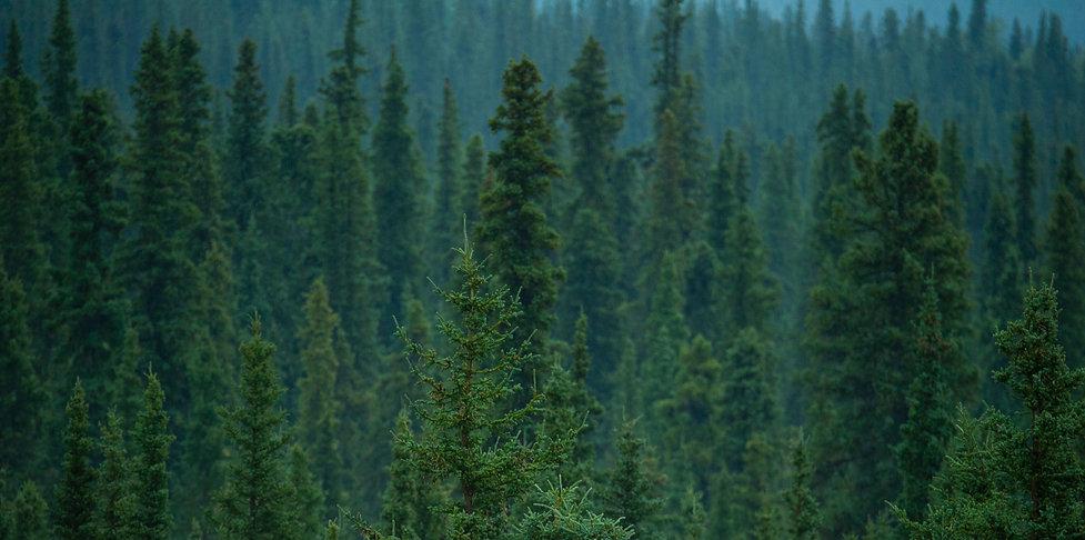 FULLFRAME FOREST TREE TOPS_edited.jpg