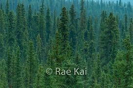FULLFRAME FOREST TREE TOPS.jpg
