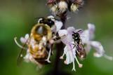 Apis melífera y abeja nativa compartiendo polen de una flor