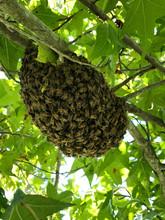 Enjambre de abejas rescatadas por BeeHub Guate