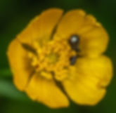black-bee-on-yellow-petaled-flower-30708