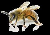 kisspng-european-dark-bee-carniolan-hone