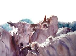 Cow hue