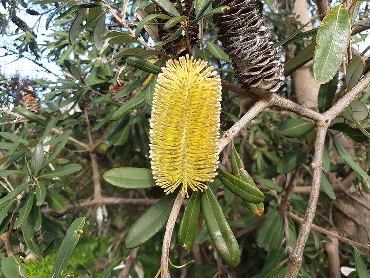 Banksia Integrifolia flower.jpg