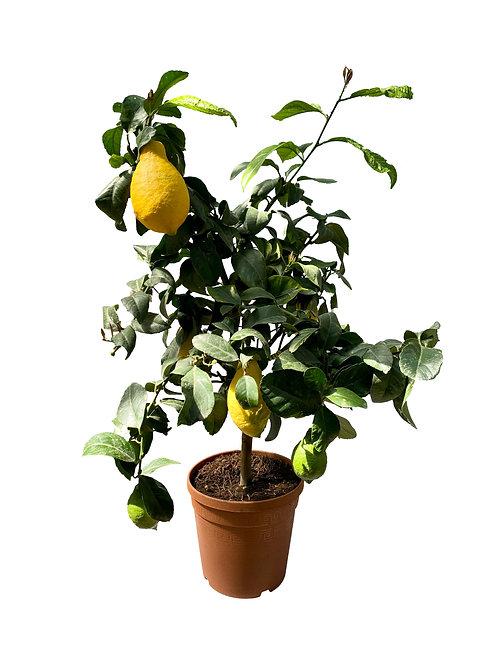 Лимон Вулкан