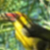 Araçari-banana-Núcleo-Caraguatatuba-Por-