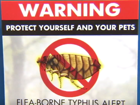 LA、パサデナ:ノミが媒介する発疹チフス流行