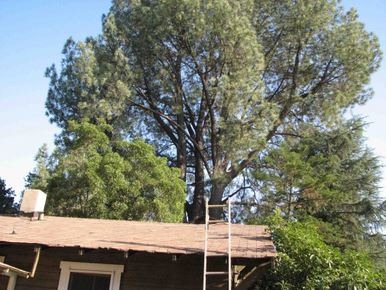 The Torrey pine as seen from the house recently vacated by the Yuge family. (Rafu Shimpo photo)