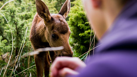 Guided moose tours - Orrviken - Sweden