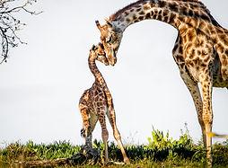 Giraffe mit KInd.jpg