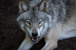 Close up portrait of a grey wolf (Canis