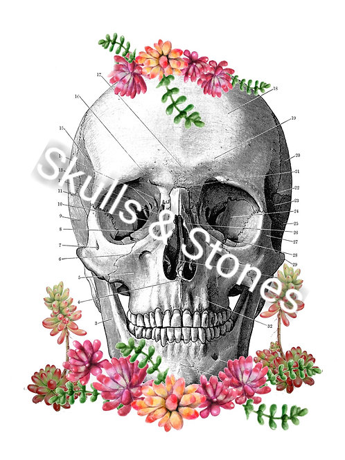 Vintage Skull and Succulents Print - Matted