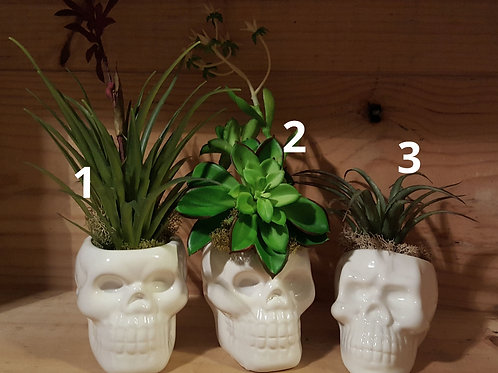 "3"" High Skull Planters with No Kill Succulents"