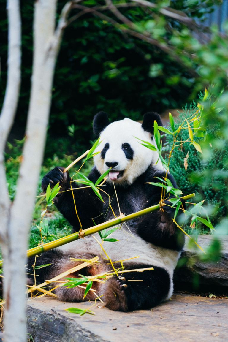 Photo of a Panda eating bamboo. Samso Insights