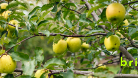 Advice on Deciduous Trees, both Fruiting and Ornamental by Greenbourne Nursery