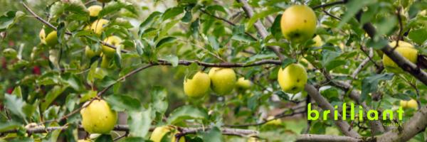 Golden Delicious Apple, Brilliant Gardening