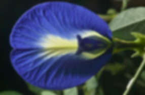Clitoria Ternatea or Butterfly Blue Pea Flowers Superfoods and Tea