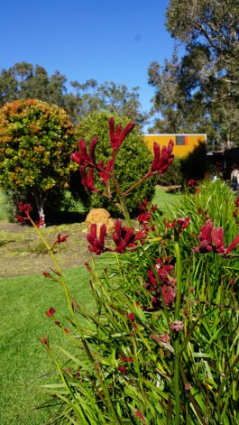 The Kangaroo Paw outside the Margaret River Chocolate Factory – Merticup.