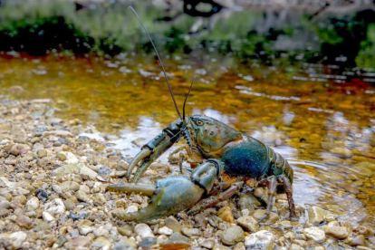 A Tasmanian freshwater crayfish.