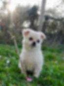 Bizzochi Joys Chihuahua