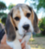 bizzochi Joys Beagle