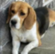 Bizzochi Joys Beagle