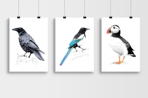 Bird Illustrations