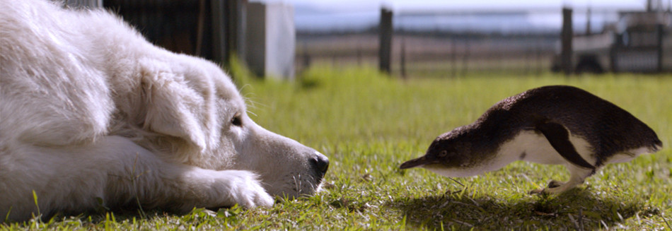 A Maremma dog crouches low to touch it's nose to the tip of an inquisitive penguin's beak