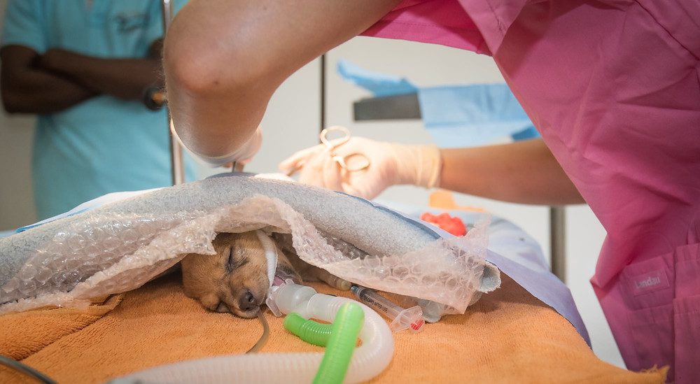 A small Sri Lankan street dog lays unconscious on the operating table as the vet performs desexing surgery