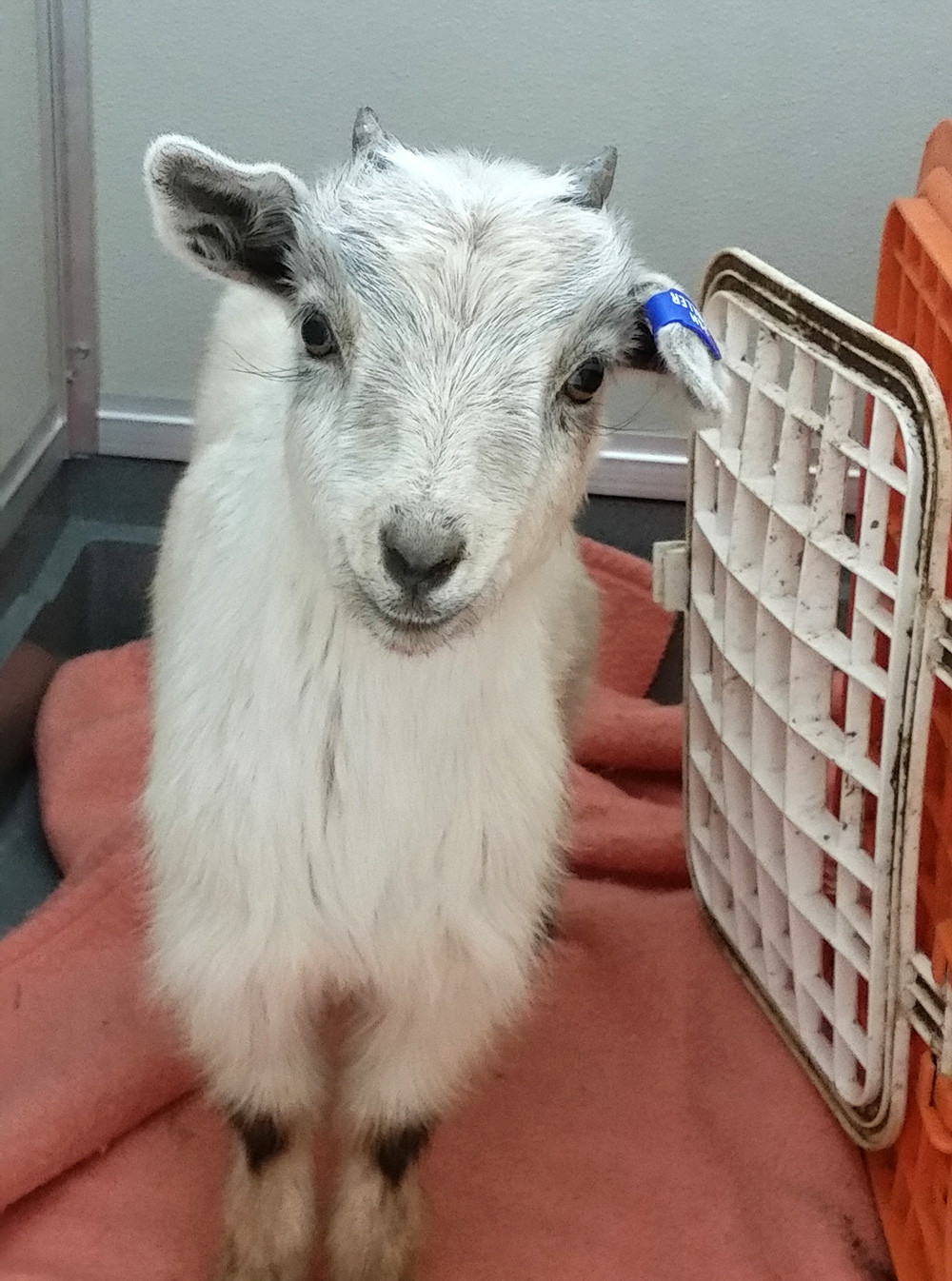 Goat kid stands facing the camera and looking like it is smiling