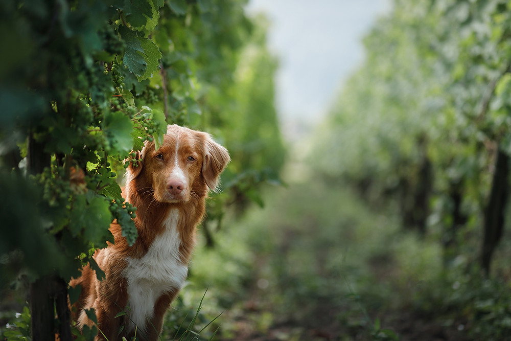 Rust coloured dog stares sadly out from between the vines