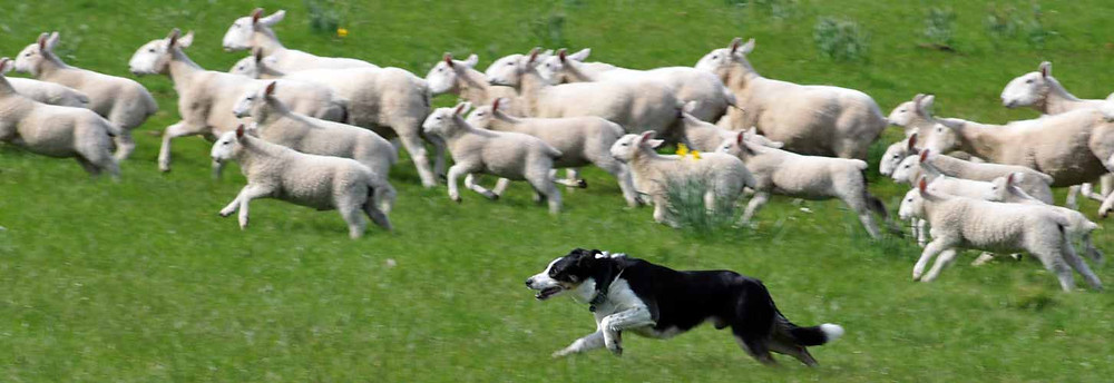 Black and white sheepdog herds a flock of sheep over a green paddock