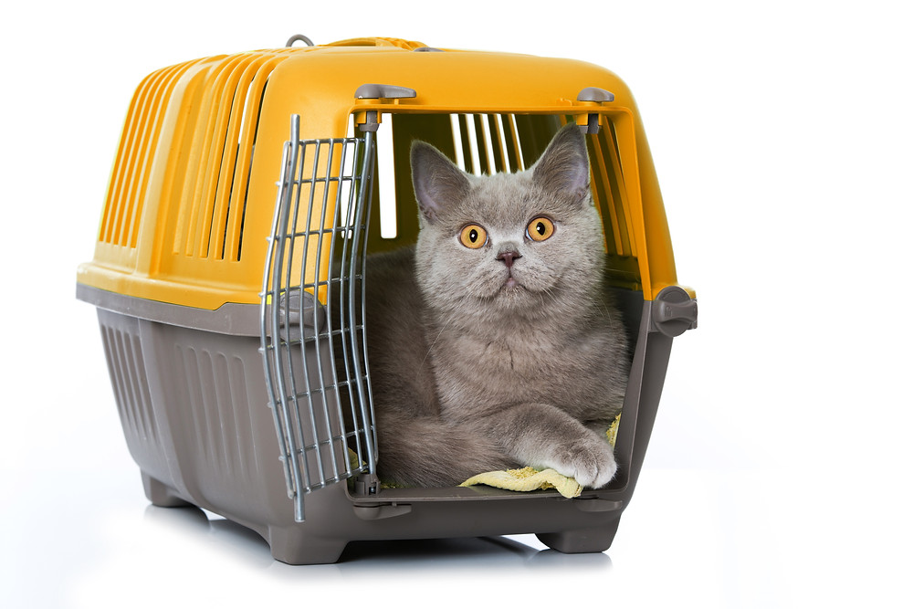 Bright eyed cat sits in rigid framed cat cage with door open