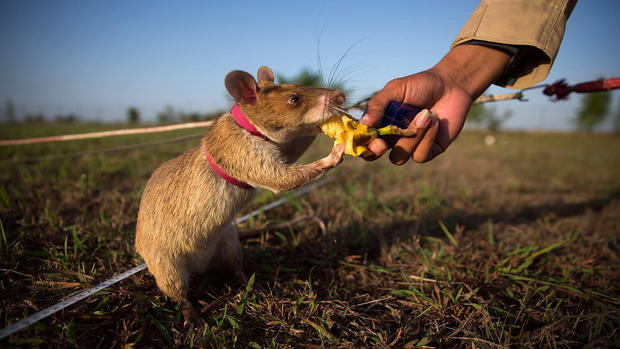 A Tanzanian Giant-pouched rat eats banana from their handler's hand in a field