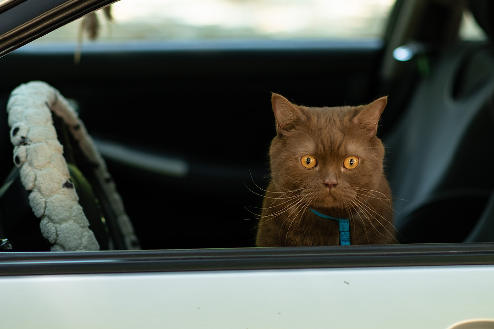 Sad looking cat sits in a car waiting to get out
