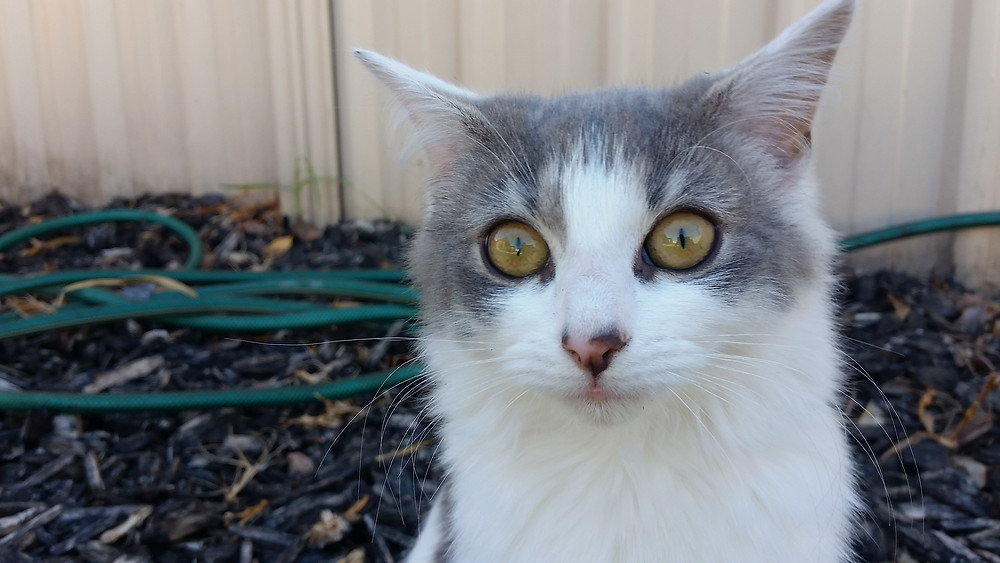 Headshot of a wide-eyed grey and white kitten