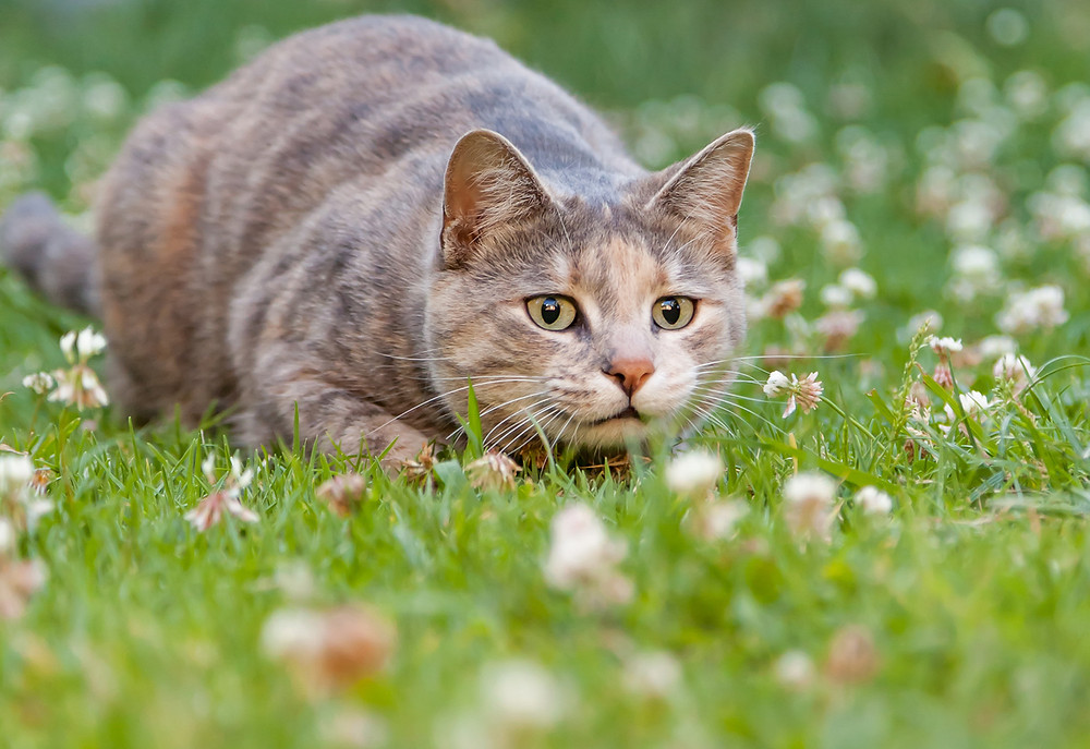 Tabby cat crouches low in the green grass, with its eyes fixed on where it is about to pounce