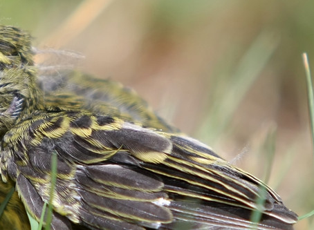 Chicks, Nestlings & Fledglings - When to rescue that bird on the ground