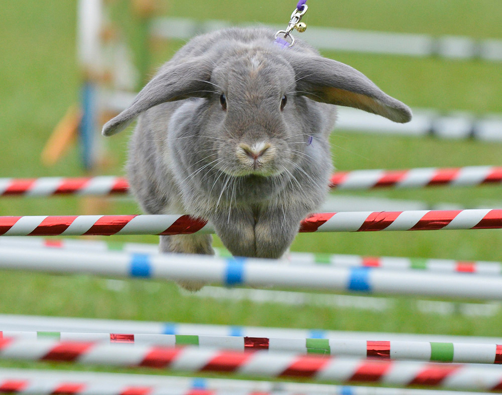 Grey rabbit jumps over show jumping barriers on a kaninhopp course