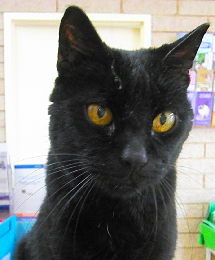 Hugo the black clinic cat sits on the reception desk looking superior and imperious