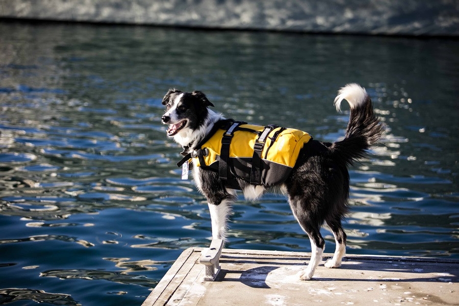 Bailey, a black and white sheepdog wearing a yellow life vest looks out over the harbour at the National Maritime Museum looking out for seagulls