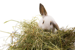 Rabbit eating hay - reduced