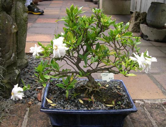 Copy of Gardenia+c2005+$245+sm.jpg