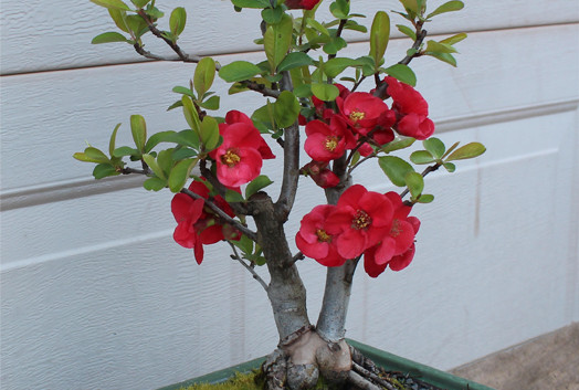 Copy of Flowering Quince 2015 sm.jpg