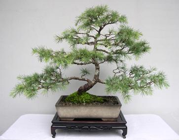 Himalayan Cedar in Antique Pot