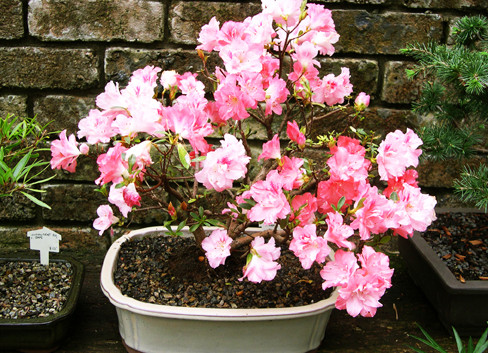 Copy of Azalea+1+-+c1997+$395+sm.jpg