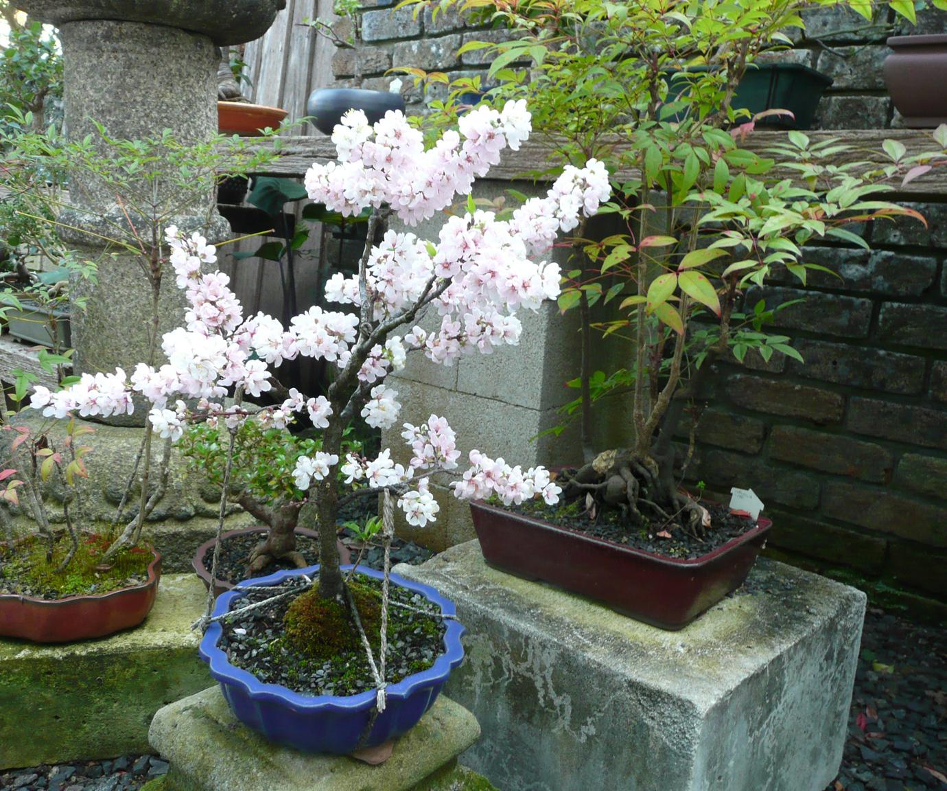 Plum Blossums 2013