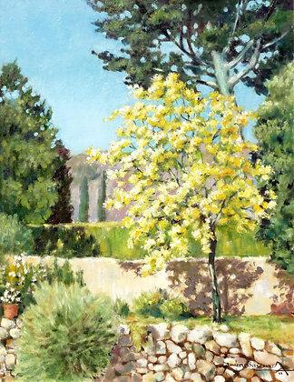 LE MIMOSA EN FLEURS - YELLOW MIMOSA TREE IN BLOOM