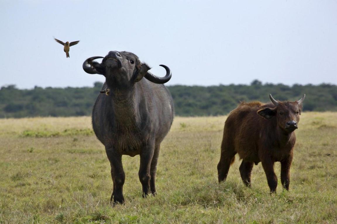 Buffalo  (Medium).jpg