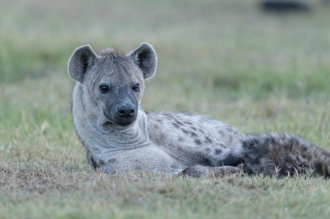 SpottedHyena_TDR_27Oct10_3637 (Medium).j